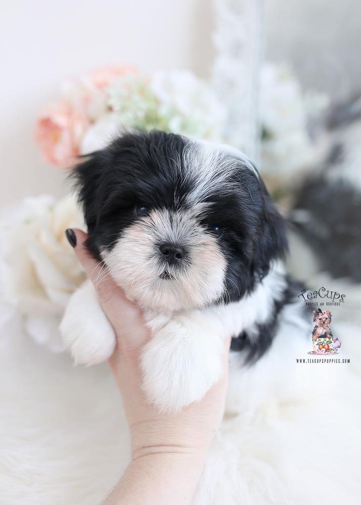 malshi designer breed puppy
