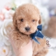 apricot toy poodle puppy