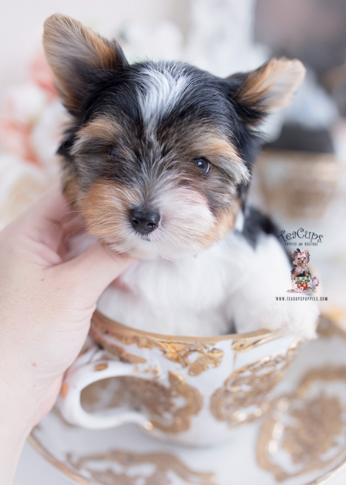 biewer terrier teacup puppies for sale