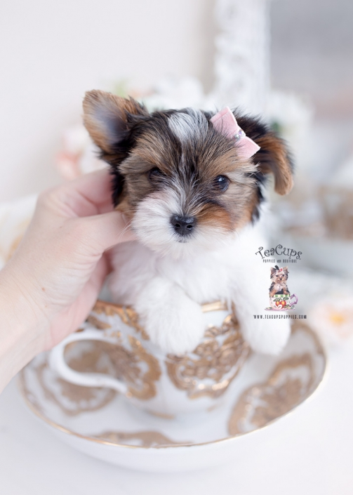 biewer yorkie terrier breeder
