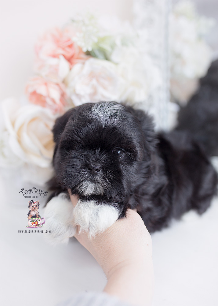 black shih tzu puppy for sale