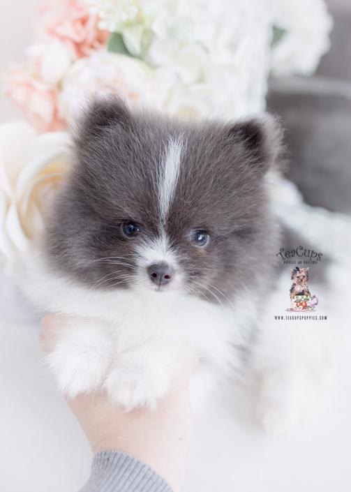blue pomeranian puppy