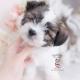 papitese designer breed puppy