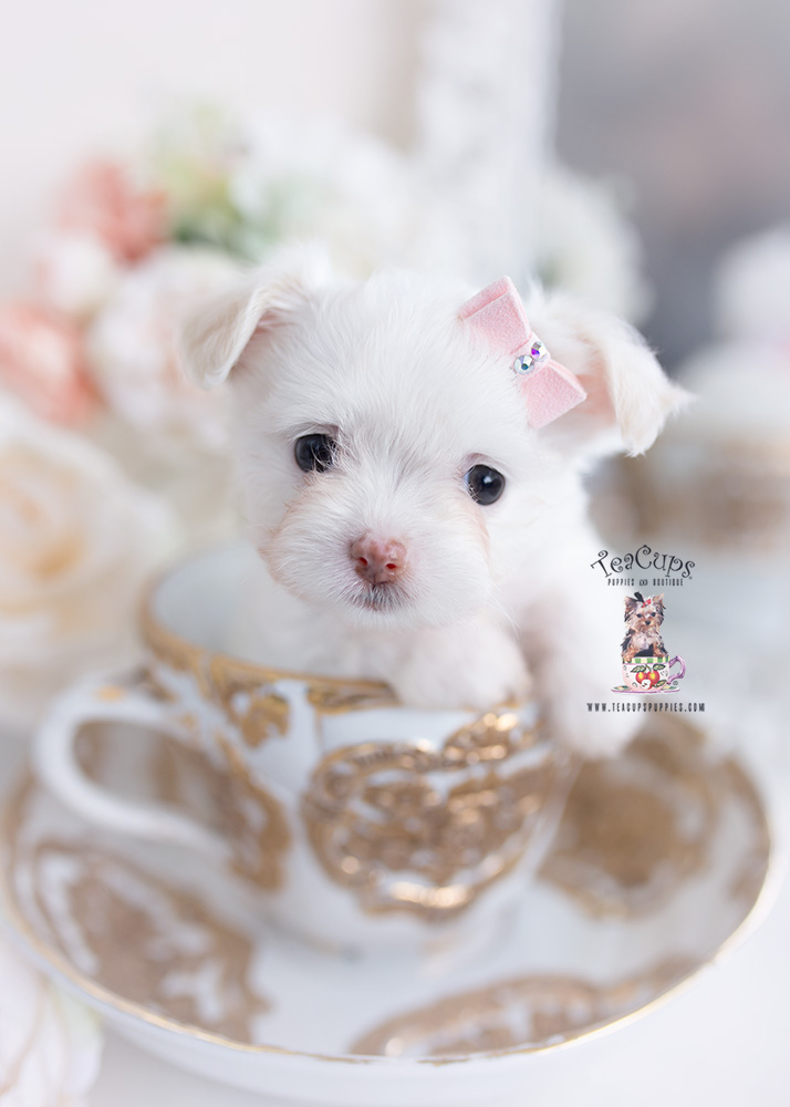 designer pomchi puppy