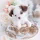designer breed pomchi puppy