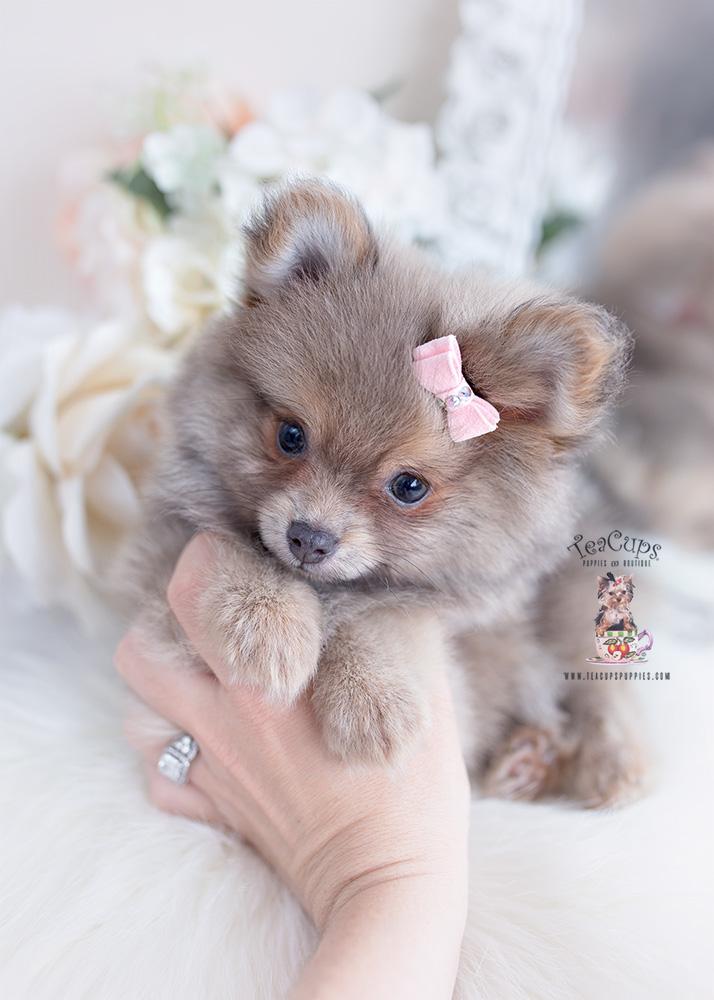 blue fawn pomeranian puppy