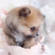 pomeranian puppy teacups