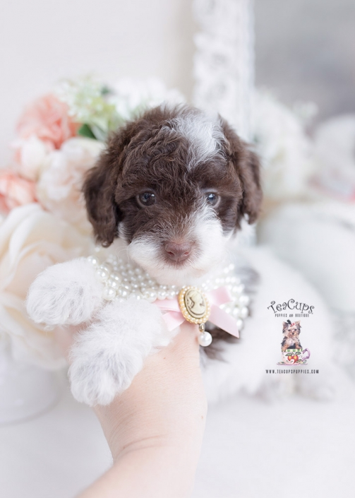 chocolate parti toy poodle
