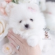 white pomeranian teacup puppies