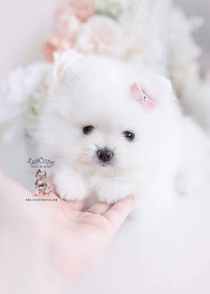 white pomeranian teacups