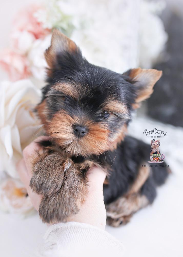 yorkshire terrier yorkie puppy