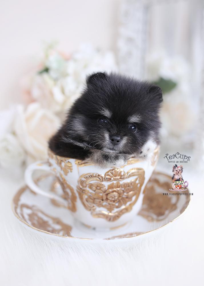 cute pomernaian puppy