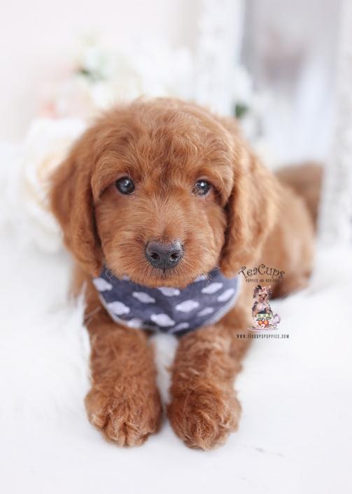 goldendoodle puppies teacup puppies