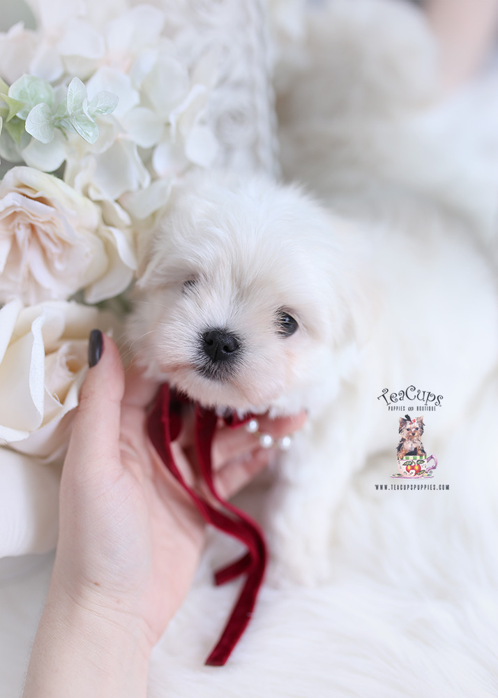 maltese teacup puppies