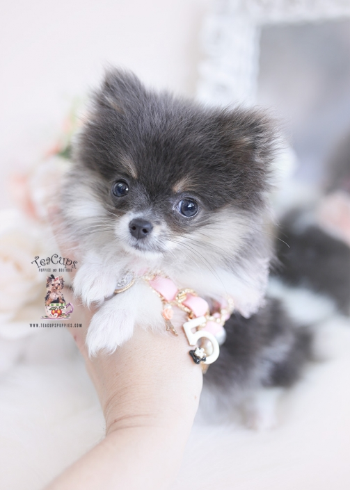 blue tan pomeranian puppy