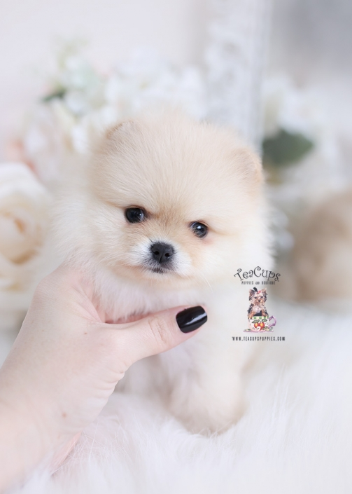 cream pomeranian puppy for sale