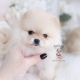 cream pomeranian puppy for sale
