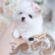 beautiful white pomeranian teacups puppies