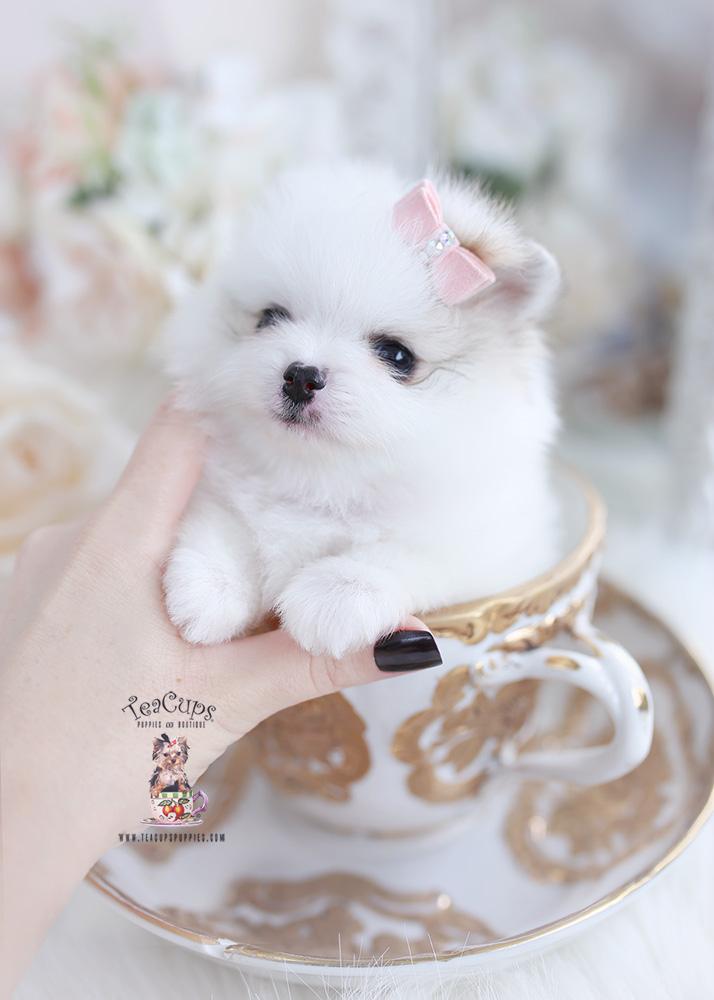 beautiful white pomeranian teacups puppies
