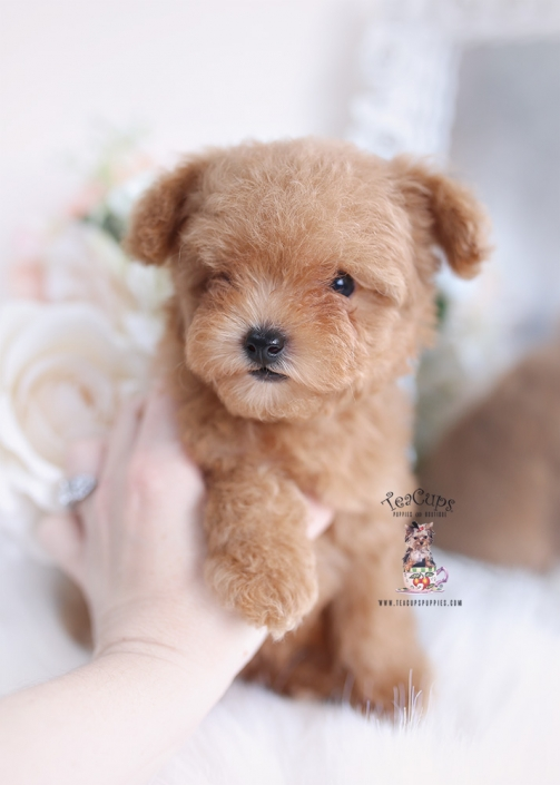 Teacup And Toy Poodle Puppies