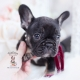 black tan frenchie