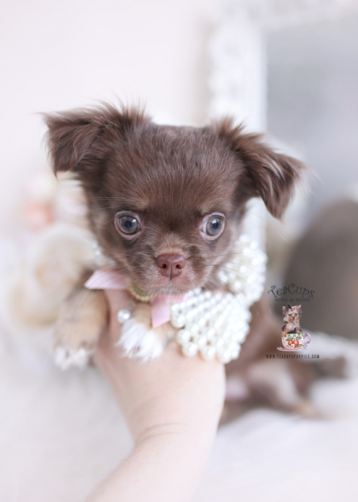 chocolate long haired chihuahua