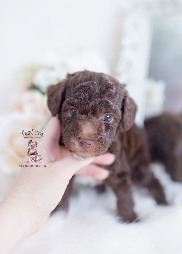 chocolate poodle for sale