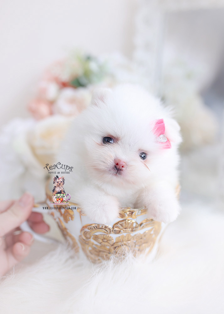 pomeranian teacup puppies miami