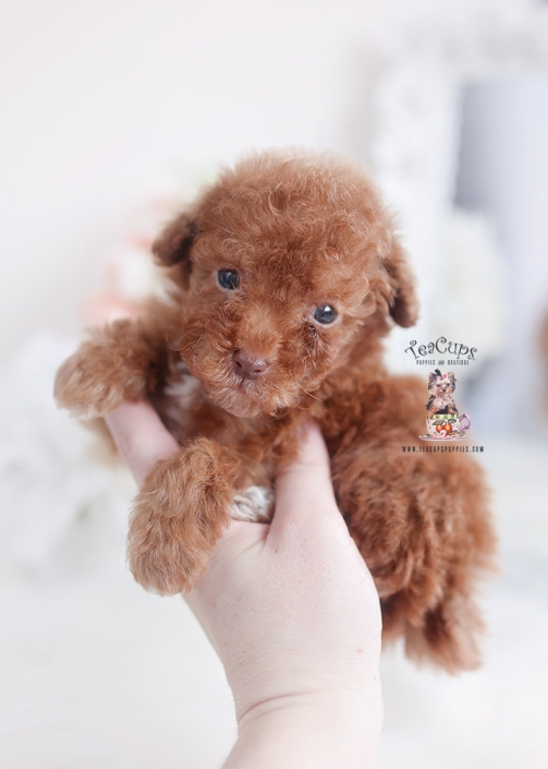 red poodle puppies for sale