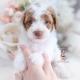apricot parti poodle puppy