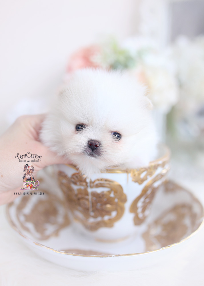 teacup pomeranians florida