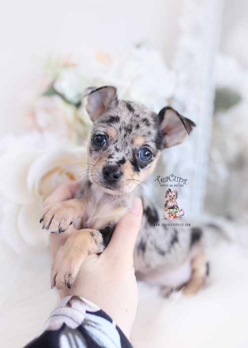 merle chihuahua puppy for sale