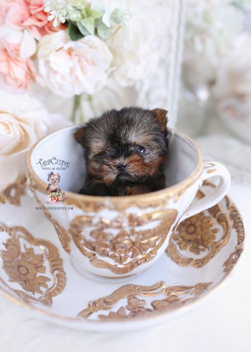 micro teacup yorkie