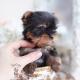 blue gold yorkie puppy