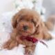 red poodle breeder