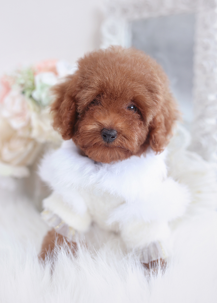 red poodle puppies florida