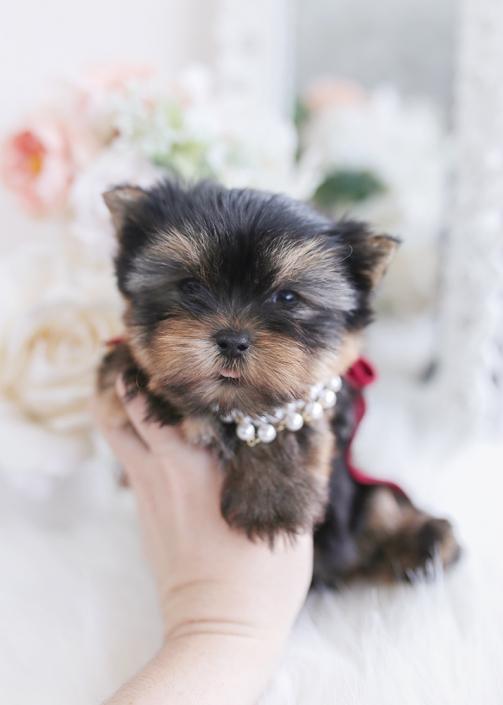 yorkie puppy breeder florida