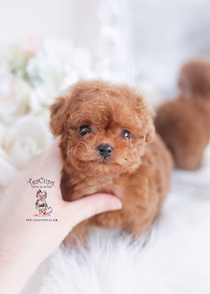 tiny red poodle