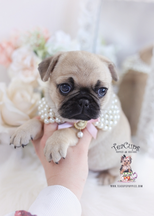 pug puppy for sale florida
