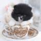 pomeranian teacup puppies