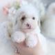 cream poodle puppy