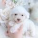 cream poodle puppies