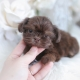 tiny type shih tzu puppy